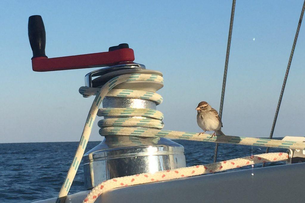 sowaway-swamp-sparrow